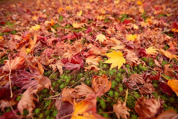 カラフルな日本のカエデエイサーパルマタムの葉の背景京都日本