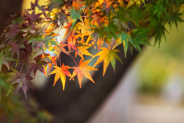 Разноцветные листья японского клена (acer palmatum) в сезон момидзи