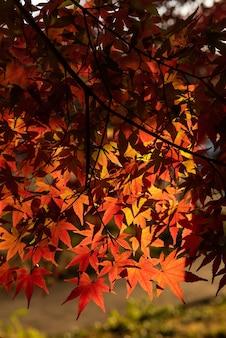 Красочные японские кленовые листья крупным планом освещены мягким солнечным светом.