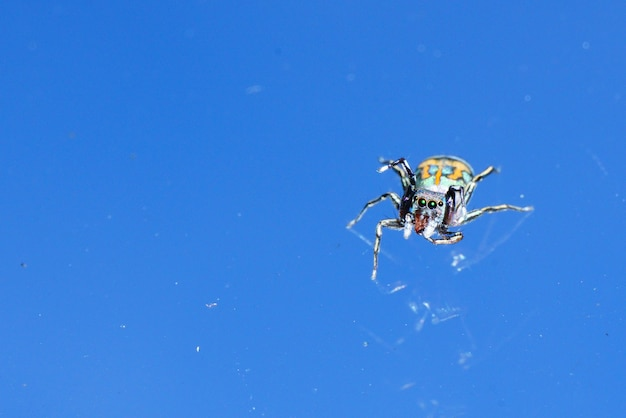 Colorful jumping spider on isolated blue background