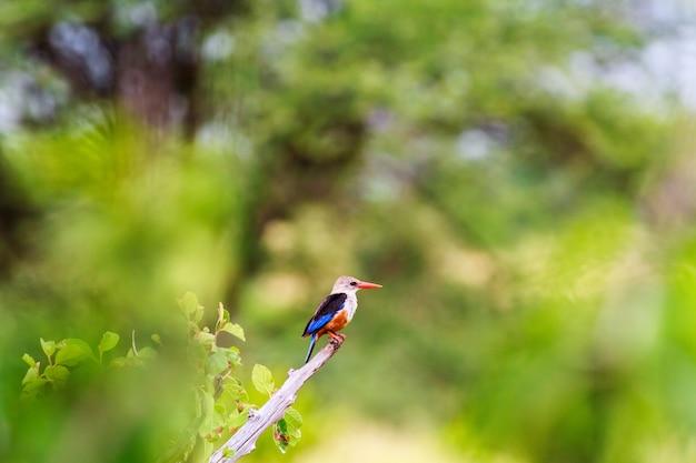 Красочная птица зимородок. тарангире, африка