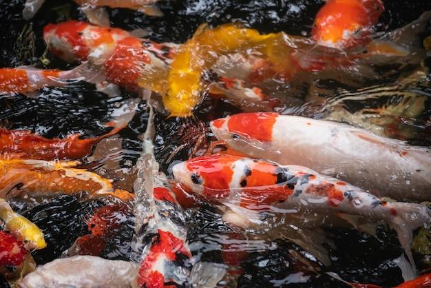 Красочная рыба кои в пруду с рыбой, раки