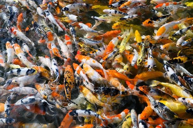 Разноцветные кои плавают в пруду