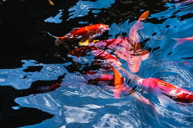 Colorful koi fish swimming in a pond in garden