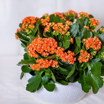 白い鍋のクローズアップでカラフルなランタナカマラ花植物