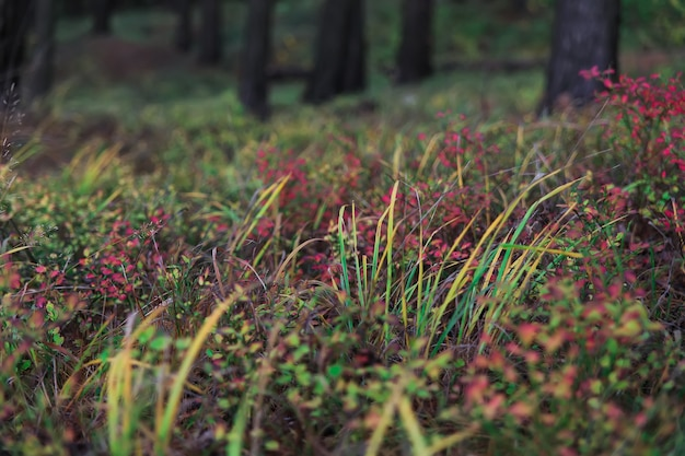 Colorful leaves on a blueberry bush in the forest against a background of forest