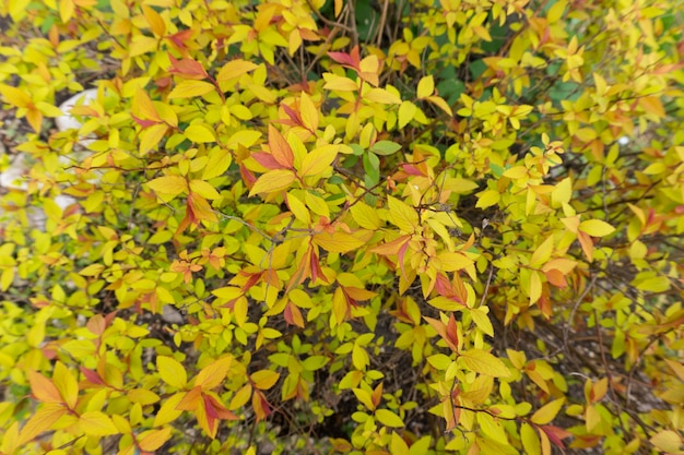 茂みに色とりどりの葉シモツケ