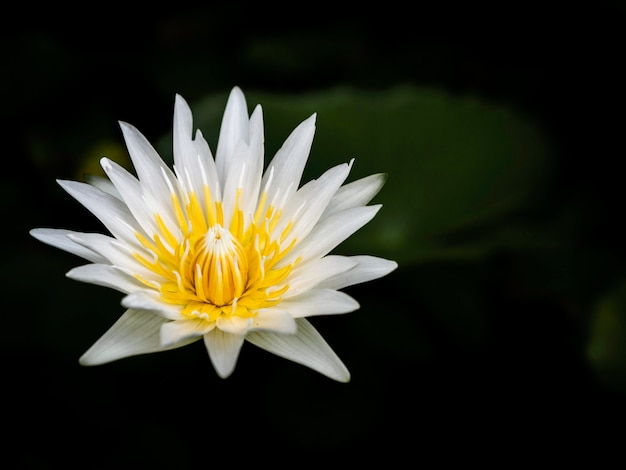 The colorful lotus flower