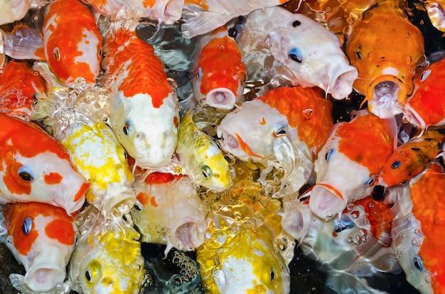 カラフルなたくさんの鯉が群がり、餌を求めて競い合う