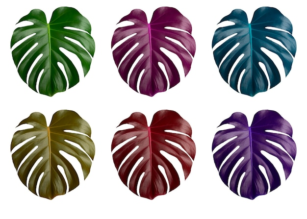 Colorful monstera leaves isolated on white background