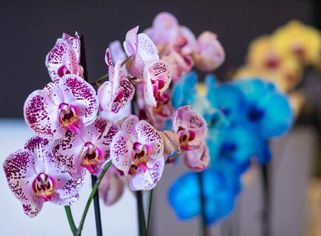 カラフルな蛾の蘭の花、胡蝶蘭、鍋に描かれた蘭のクローズアップ