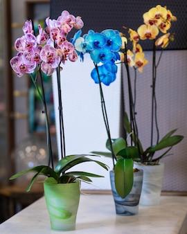 カラフルな蛾の蘭、胡蝶蘭、鍋に描かれた蘭