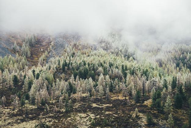低い雲の下で秋の色の苔むした丘の中腹にある木々に霜が降りる針葉樹林のあるカラフルな山の風景。雲の間の丘に霜が降りる美しい黄色のカラマツの美しい景色。