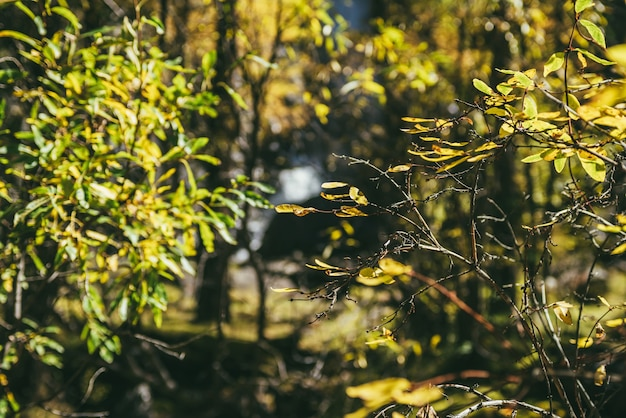 Colorful nature background with yellow leaves in sunny autumn forest. minimalist nature backdrop with sunlit yellow foliage in sunshine in autumn colors. scenic minimalism with golden leaves in fall.