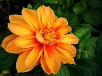 Colorful nature dahlia orange flower