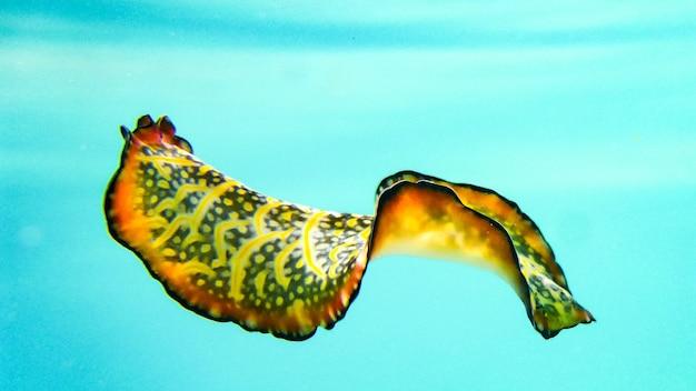 Colorful nudibranch sea slug hovering, spanish dancer, maldives.
