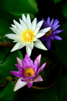 Colorful nymphaea lotus on dark background