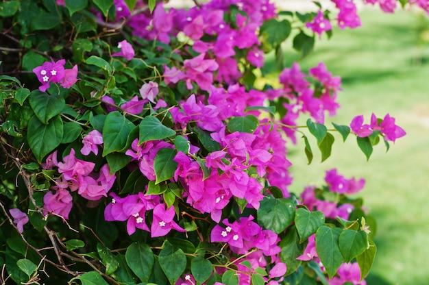Разноцветный цветок бугенвиллии