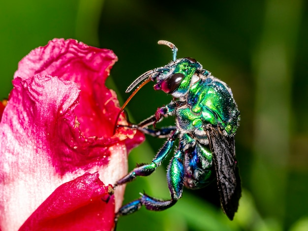 Colorful orchid bee or exaerete on a red tropical flower. amazing brazil fauna. euglossini family.