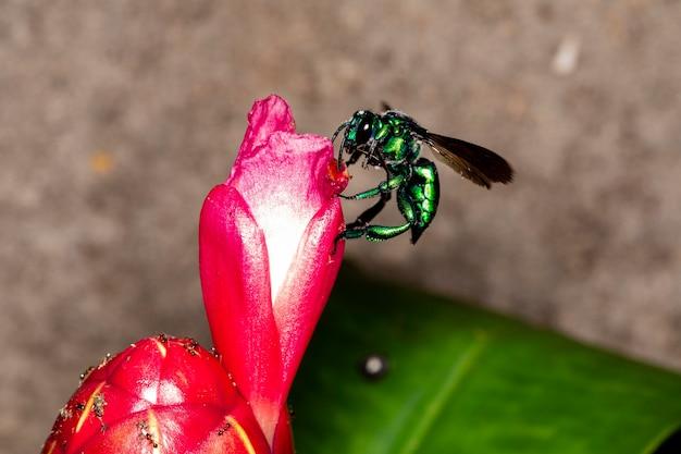 赤い熱帯の花にカラフルな蘭蜂またはexaerete。素晴らしいブラジルの動物相。ユーグロシーニ家..