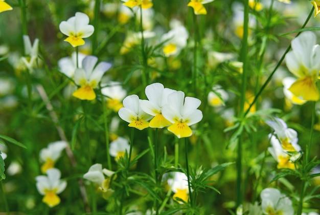 흐릿한 배경에 화려한 팬지 꽃