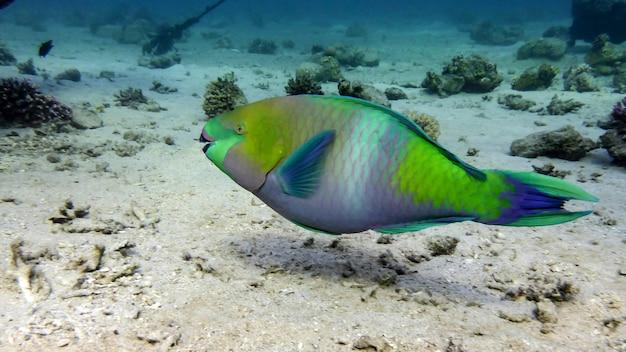 이스라엘 에일랏 홍해의 다채로운 앵무새 물고기