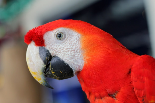 Colorful parrots head closeup shot isolated on white.