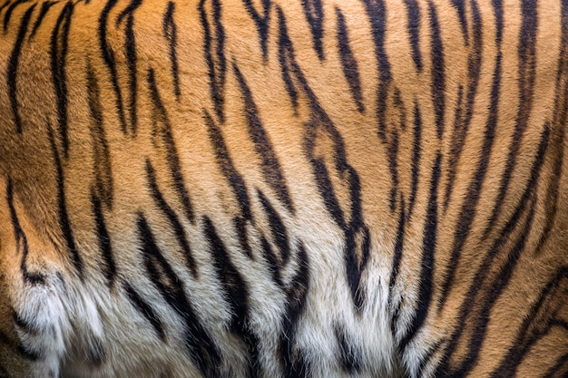 Colorful patterns and textures of the tiger.