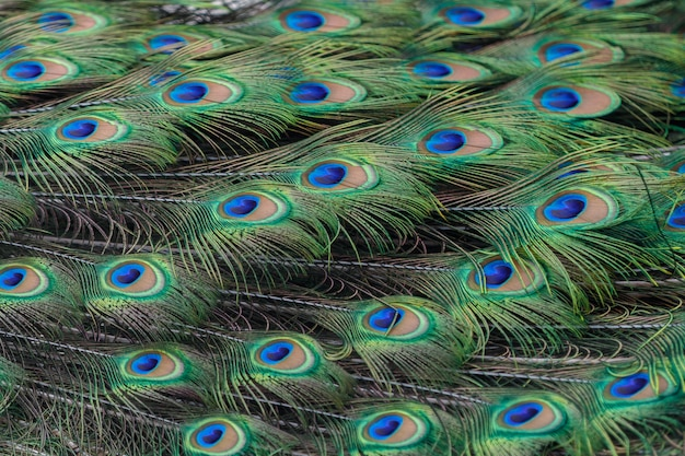 Colorful peacock feathers as background or backdrop