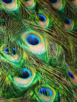 Colorful peacock feathers natural background