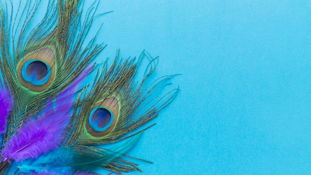 Colorful peacock feathers with copy space