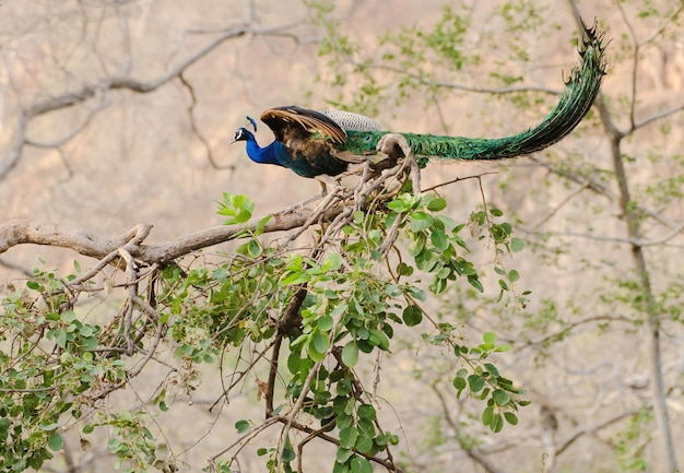 Colorful peacock perched on a tree branch with green leaves