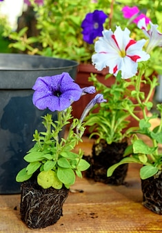 Colorful petunia seedlings are prepared for planting on a wooden table. close-up photo with selective soft focus