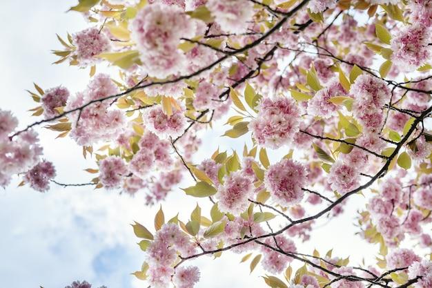 하늘을 배경으로 화려한 분홍색 꽃이 만발한 벚꽃 가지