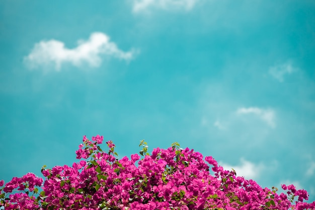 Colorful pink bougainvillea flower against blue sky in summer. bright sunny day. empty space for text