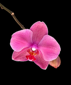 Colorful pink orchid on black background