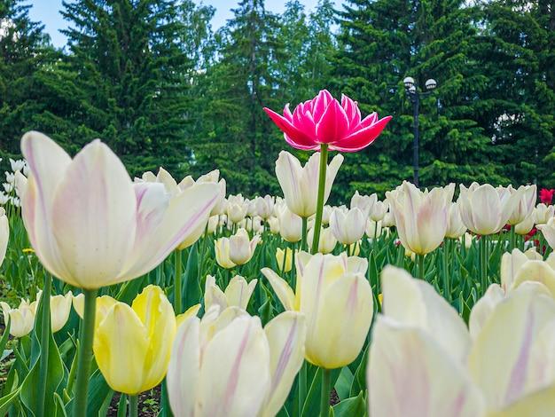 Красочный розовый тюльпан цветы на клумбе в городском парке.