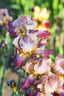 カラフルな紫と黄色のアイリス