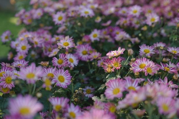 カラフルな紫または紫の菊の花