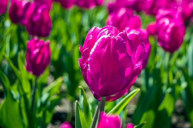 Colorful purple tulip flowers on a flowerbed in the city park