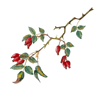 Colorful realistic dog-rose branch in autumn season with ripe small red oblong berries. watercolor illustration.