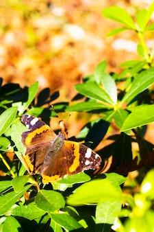 배경 흐림 효과가 있는 다채로운 레드 제독 바네사 아탈란타 나비의 색상은 레드-오렌지색입니다. 쐐기풀과 엉겅퀴 식물을 먹습니다. 북미와 러시아에서 가장 흔한 나비 중 하나