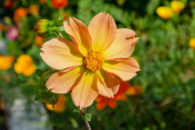 カラフルな赤と黄色のダリアの花。カラフルなダリアの花のクローズアップ