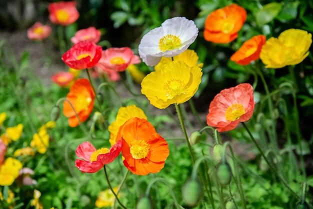 カラフルな赤と黄色のポピーの花が夏の庭に咲きます