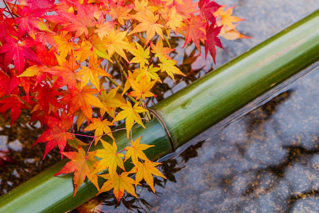 Colorful red and orange maple leaf on water pond with green bamboo in japanese garden in autumn season.
