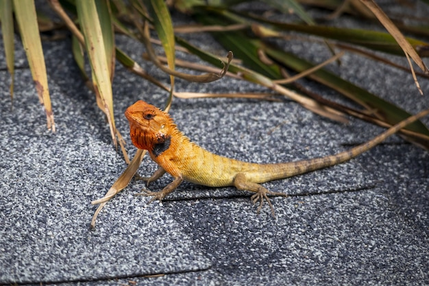 Colorful reptile with long tail