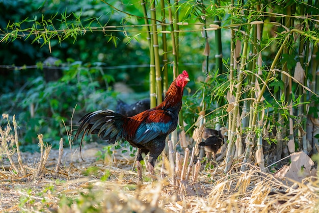 Colorful rooster or fighting cock in the farm