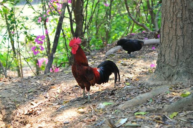 色とりどりの雄鶏または雄鶏の養鶏場での戦い