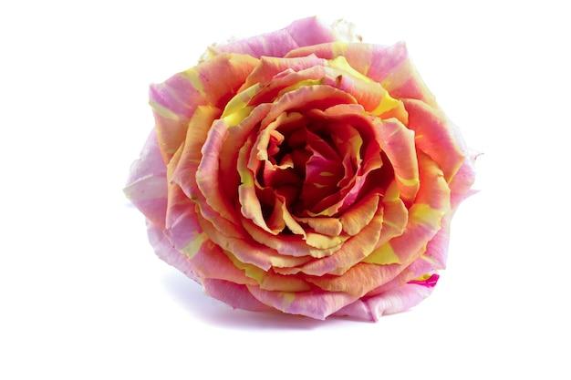 Красочная роза на белом фоне