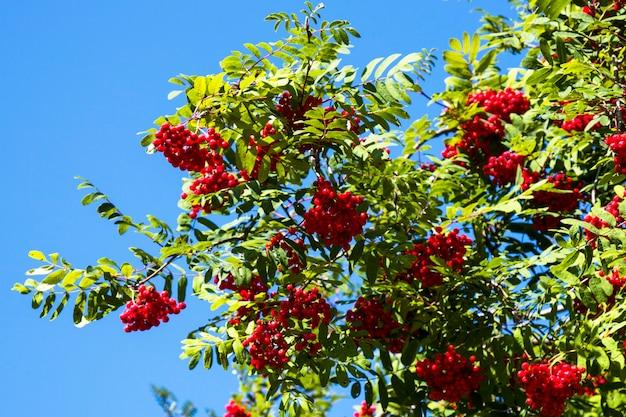 Красочные плоды рябины на рябине. голубое небо на заднем плане. спелые ягоды